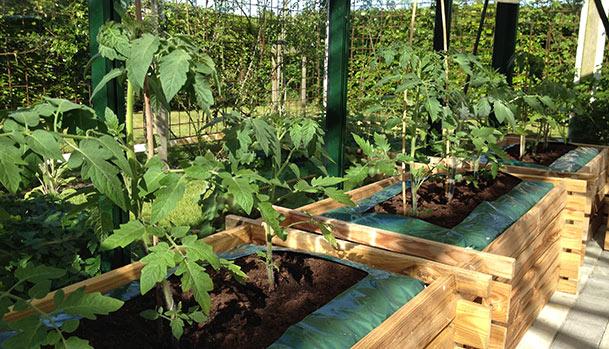tomater bliver store_Mad og Have