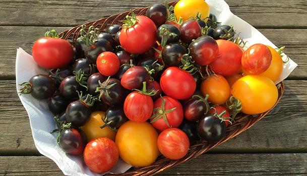 Solmodne tomater til passata