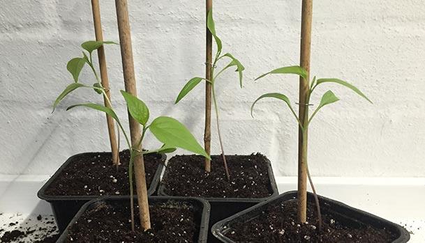 Hjemmelavede planteringe holder spirer fast til støttepinden