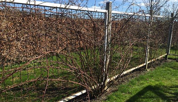 Brombær busk inden beskæring