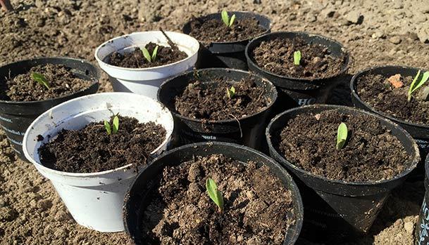 Selvspirende morgenfruer er pottet til genbrug